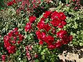 Red Roses in bloom at the Canal de Isabel II park in Madrid, Spain.JPG