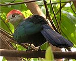 Red crested turaco.jpg