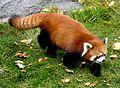 Red panda (9396927473).jpg