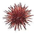Red sea urchin 2.jpg