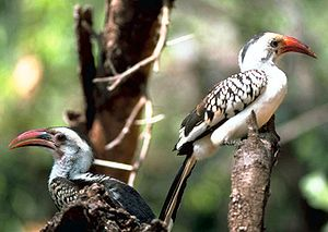 Red-billed hornbill - The northern red-billed hornbill has a black stripe on the back of its head, reddish ocular skin and dark eyes.