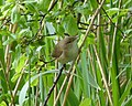Reed Warbler. Acrocephalus scirpaceus - Flickr - gailhampshire.jpg