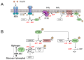 Regulation of glycogen metabolism insulin.svg