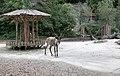 Rentier Rangifer tarandus Tiergarten Schönbrunn Wien 2014 b.jpg