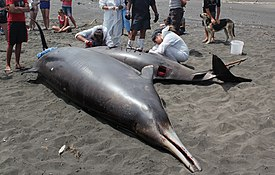 Researchers conduct autopsy on stranded beaked whale.jpg