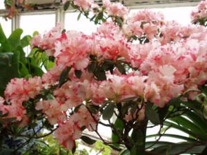 Ericales - Rhododendron simsii