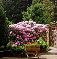 Rhododendron - panoramio (4).jpg