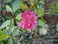 Rhododendron ferrugineum02.jpg