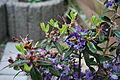 Rhododendron impeditum azurika in Rogačevo (11).JPG