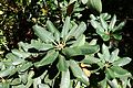 Rhododendron lacteum - UBC Botanical Garden - Vancouver, Canada - DSC07767.jpg