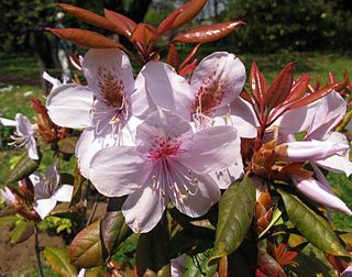 """<i>Rhododendron <span style=""""font-style:normal;"""">subg.</span> Choniastrum</i> Subgenus of flowering plants"""