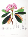Rhododendron metternichii SZ9.png