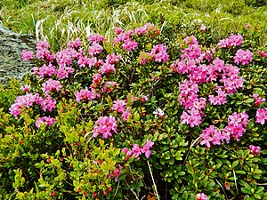 Рододендрон карпатський rhododendron