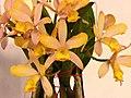 Rhyncattleanthe Tzeng-Wen Orange 'Purple Love' -台南國際蘭展 Taiwan International Orchid Show- (40799685762).jpg