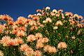 Ribbon pincushion, Leucospermum tottum at Kirstenbosch National Botanical Garden, Cape Town, South Africa (16955545582).jpg