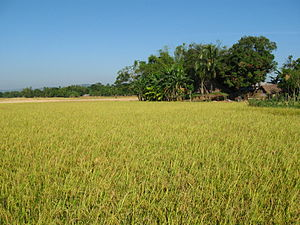 Rice field and country house bangladesh.JPG