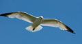 Ringbilledgull-flight.png