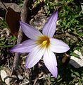Romulea bulbocodium - (Iridaceae) - Flickr - gailhampshire.jpg