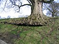 Root structure on old tree at Gwysaney - geograph.org.uk - 735507.jpg