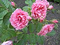 Rosa 'Pink Grootendorst' HRM1.JPG