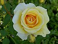 Rosa (212091307).jpg