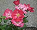 Rosa Lupo flowers 2014.jpg