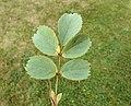 Rosa glauca leaf (09).jpg