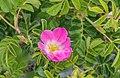 Rosa rubiginosa near Lake Pukaki 02.jpg