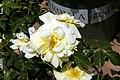 Rosa x Noalesa 0zz.jpg