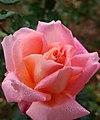 Rose Marie-Antoinette Rety バラ マリーアントワネット レティ (6343133409).jpg