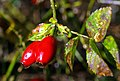 Rosehips after the Rain - geograph.org.uk - 1029540.jpg