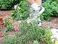 Rosemary herb.JPG