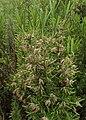 Rosmarinus officinalis kz01.jpg