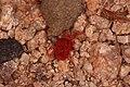 Rote Samtmilbe Trombidium holosericeum.jpg