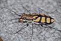 Royal Tiger Beetle (Chaetodera regalis) (16926211091).jpg