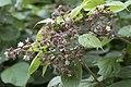 Rubus caucasicus, Giresun 2017-07-05 02-1.jpg