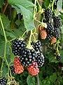 Rubus fruit.jpg