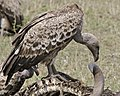 Rueppell's Griffon Vulture (Gyps rueppellii) - Flickr - Lip Kee.jpg