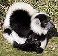 Ruffed Lemur 3d (5512672744).jpg