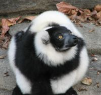 Ruffed Lemur Black White.jpg