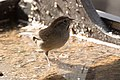 Rufous-crowned Sparrow Santa Rita Lodge Madera Canyon AZ 2018-02-17 15-58-20-2 (39872148864).jpg