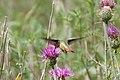 Rufous Hummingbird (immature male) - Rustler Park - Cave Creek - AZ - 2015-08-16at10-56-0814 (21449375900).jpg