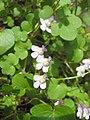 Ruhland, Grenzstr. 3, Mauer-Zimbelkraut im Garten, blühend, Frühling, 03.jpg