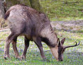Rupicapra pyrenaica - Tierpark Hellabrunn-cropped.jpg