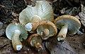 Russula compacta Frost & Peck 881860.jpg