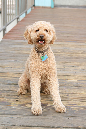 Crossbreed - A Labradoodle, a crossbreed between a poodle and a retriever