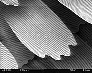 SEM image of a Peacock wing, slant view 3.JPG