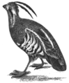 SMO V12 D698 Mountain quail or plumed partridge.png