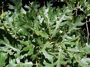 Quercus cerris - Image: Saçlı meşe 2