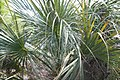 Sabal palmetto 5zz.jpg